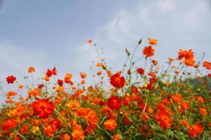 orange blommor och blå himmel