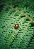 vacker nyckelpiga på en växt foto