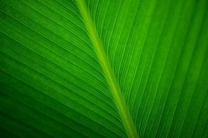 närbildblad av en bananväxt foto