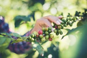 skörd kaffebönor