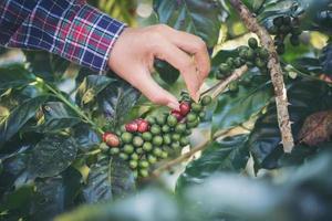 kvinna som skördar kaffebönor