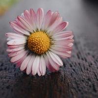 rosa och vit tusenskönablomma i trädgården foto