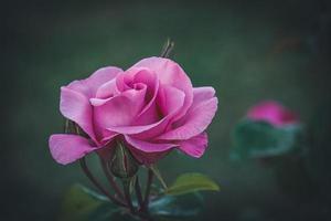 odlad rosa ros foto