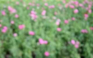 suddig rosa blomma bakgrund foto