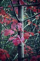 höstträd med röda blad foto