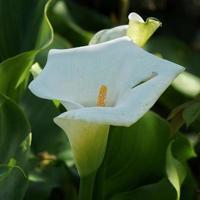 calla lilja blomma i trädgården foto