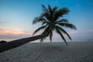 kokosnöt träd vid solnedgången
