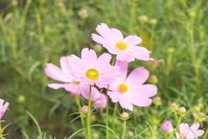 små rosa blommor foto