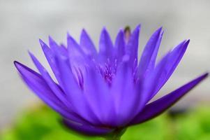 en lila lotusblomma