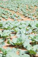 jordbruksmark planterad med kål foto