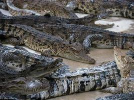 grupp krokodiler foto