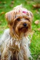 yorkshire terrier på gräset foto