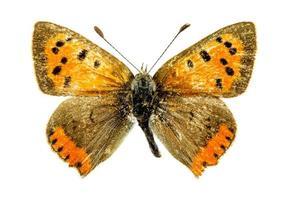 vanlig kopparfjäril foto