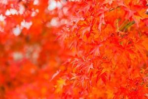 vackra röda lönnlöv