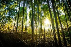 vacker bambuskog vid arashiyama, kyoto foto