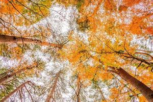 lönnträd på hösten foto