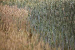 korn som växer i ett fält foto