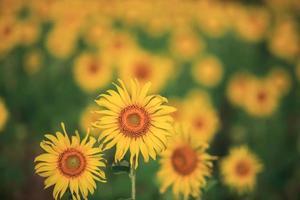fält av gula solrosor foto