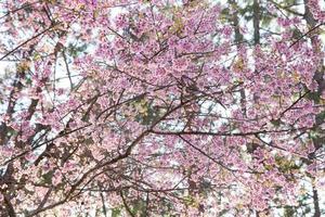 rosa blomningsträd