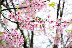 rosa sakura blommar