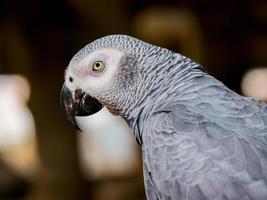 närbild av en grå papegoja