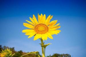 gul solros mot en blå himmel foto