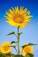 vertikal vy av solrosor foto