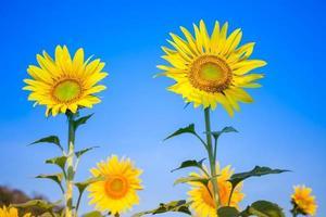 färgglada gula solrosor med blå himmel foto