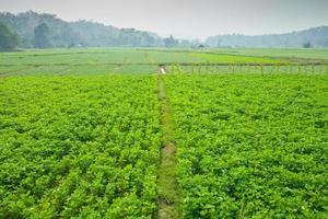 grönt fält av choy sum
