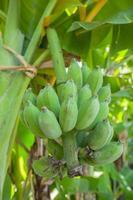 gröna omogna bananer i djungeln