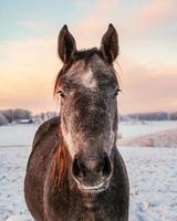 häst står i ett snöigt fält i Lettland