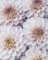 flatlay av blommande dahlia blommor i ljusrosa färg