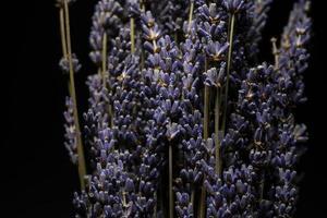 närbild av torkade lavendelar foto