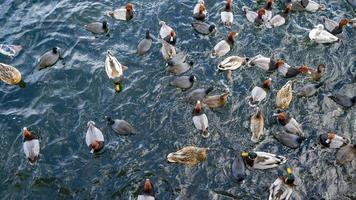 en flock änder på en sjö