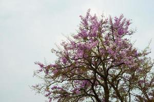 vilda himalayan körsbärsträd på berget i Chiang Mai, Thailand foto