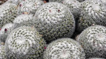 runda kaktusväxter foto