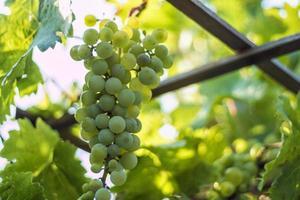närbild av hängande gröna druvor foto