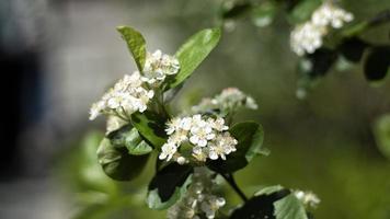 vita blommor blommar på ett träd