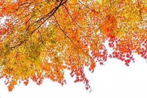 vackert lönnträd på hösten