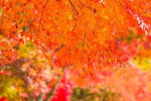vackra lönnträd på hösten