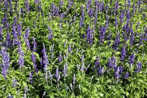 blå lupiner i ett fält
