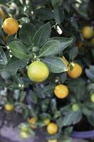 citrusfrukter på ett träd