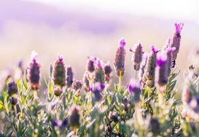 fält för violetta blommor
