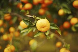 enkel mandarin på gren med mandarinträd i bakgrunden foto