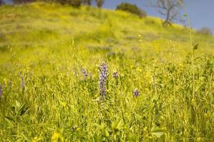 lila blommor på backen på våren foto