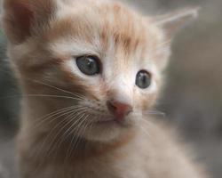 porträtt av orange och vit kattunge foto