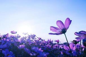 lila kosmosblommor i trädgården