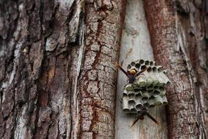 närbild av getingar som skapar ett bo på ett träd foto