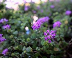 ljus lila blommaträdgård med en suddig bakgrund foto