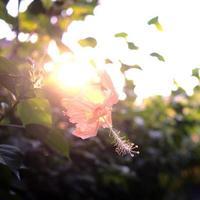 hibiskusblommadjungel med solljus vid solnedgången foto